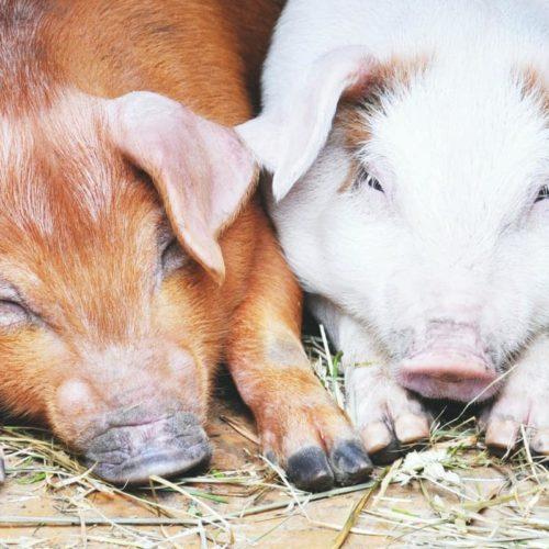 imunološkog sustava svinje