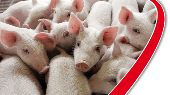 hyperthermia in piglets