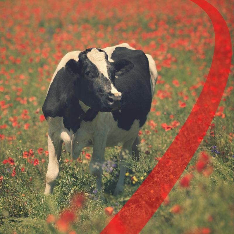 alimentazione lipidica nella vacca da latte