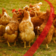 Heat Stress In Poultry