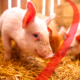 Heat stress in pigs