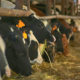 vacche da latte