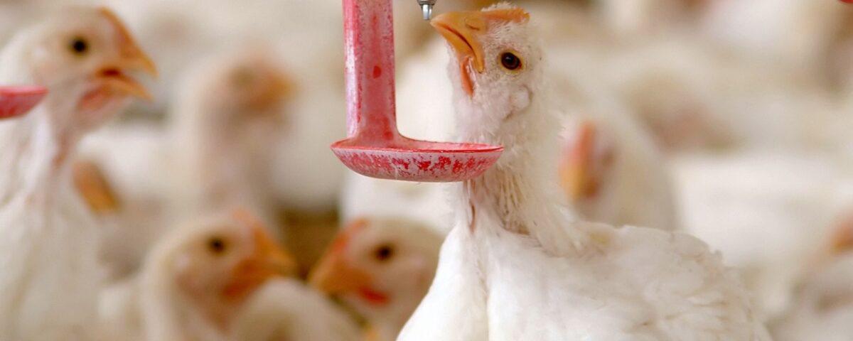 stress da caldo avicoli